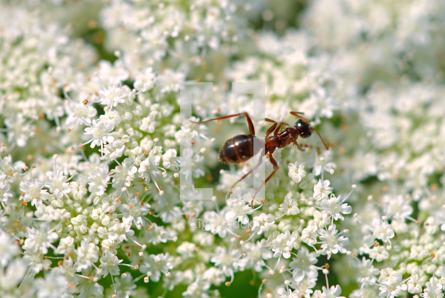 "Ant on Queen Anne's Lace.  ""Go to the ant, thou sluggard, and learn her ways.""  Proverbs 6:6"