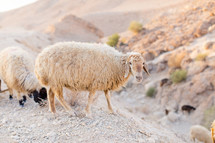 sheep grazing on a desert mountain