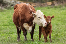 mother and baby cattle