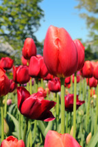 Garden of red tulips