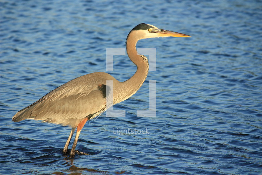 a crane standing in blue water