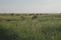 Zebras grazing in a field