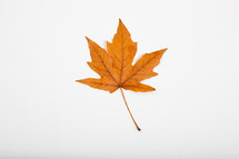 fall leaf on a white background