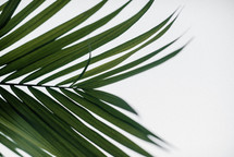 palm fronds on a white background