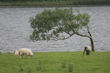 grazing sheep by a river