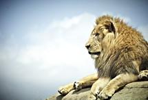 A lion rests on a large rock.