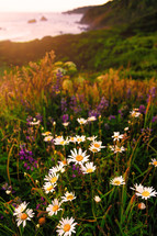 meadow of daisies and lupine