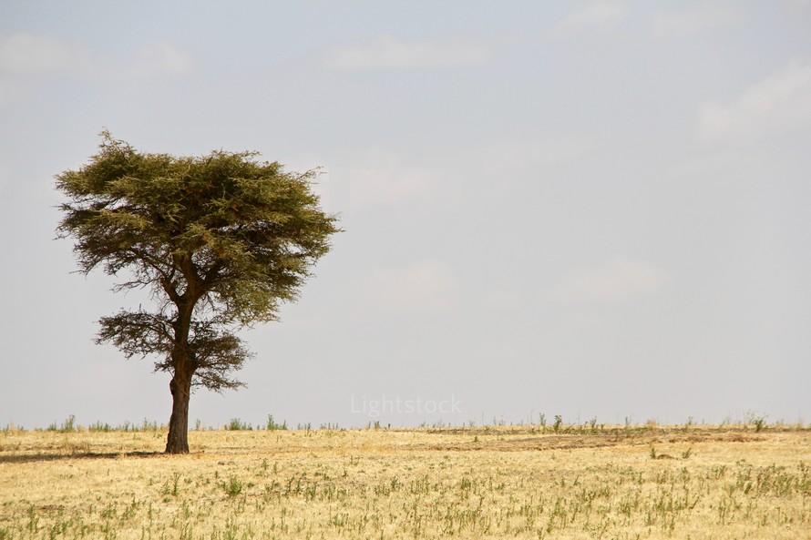 A single Acacia tree in a barren drought-stricken landscape