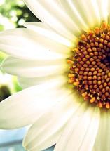 half white daisy