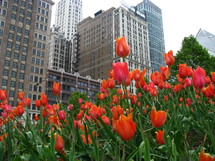 Tall buildings rising behind bright orange tulips.