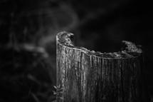 hallow tree stump