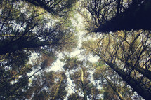 looking up at tree tops