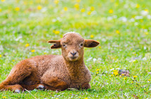 resting brown lamb