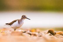 sand piper bird