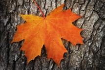 orange maple leaf on bark on a tree