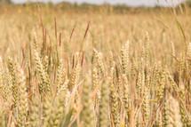 tall wheat in a field