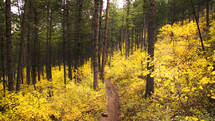 Forest trail divides yellow bushes below the dark pines