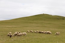 flock of sheep grazing on a hill
