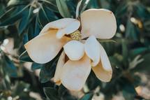 wilting magnolia flower