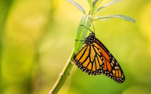 monarch butterfly on a stem