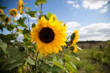 yellow sunflowers outdoors