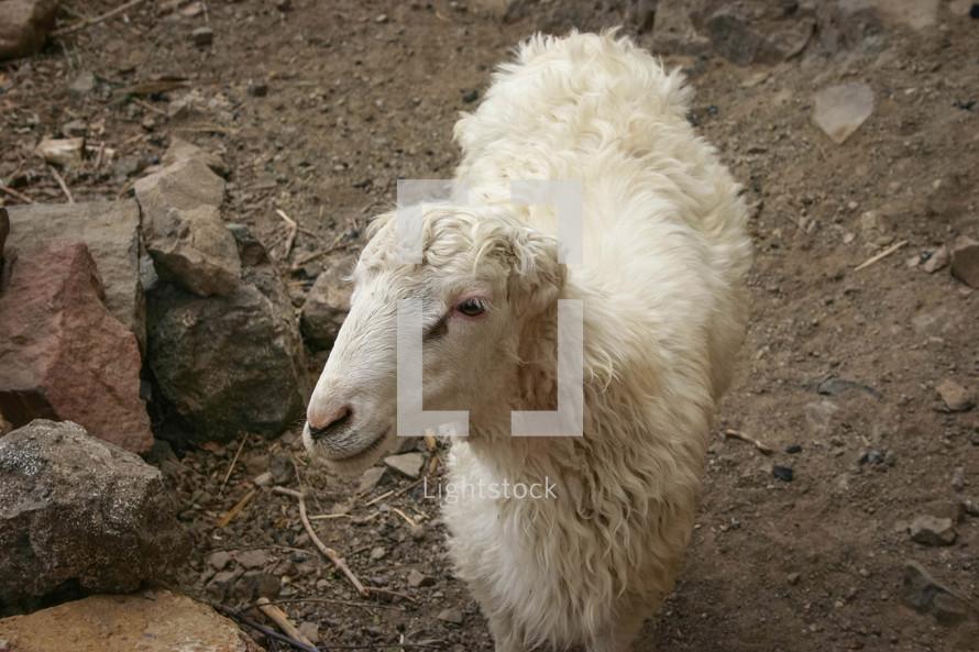sheep in Yemen