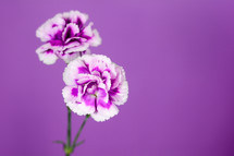 purple carnations against a purple background