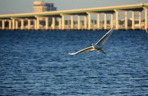 a large bird in flight over blue water with a bridge in the distance