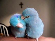 Two Pacific parrotlet love birds grooming each other and enjoying the first signs of Spring, warm air and the celebration of Easter with the cross of Jesus in the background. With Christ being the center of any relationship, love can flourish and grow as it is designed to do.