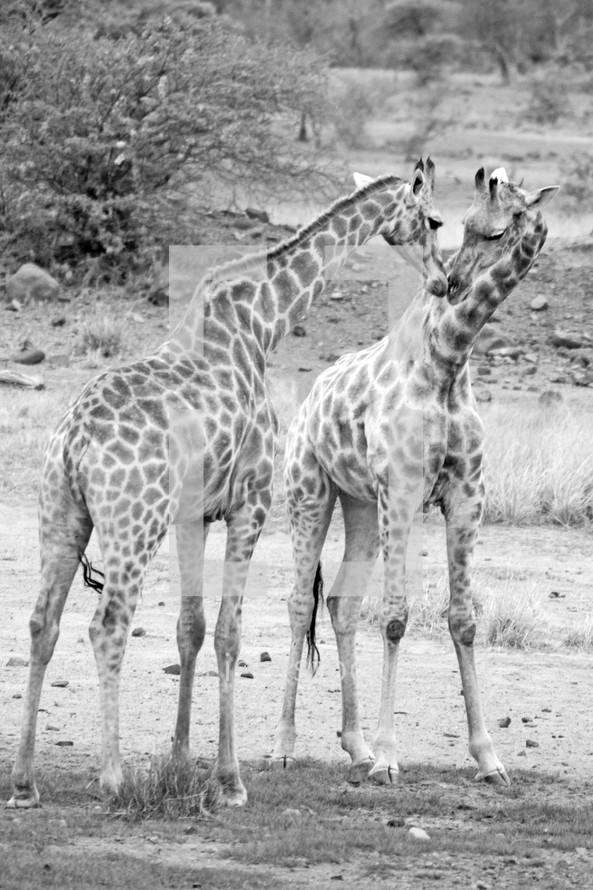 Kissing giraffes outside.