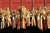 Indian corn hanging to dry