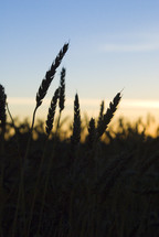 wheat silhouette