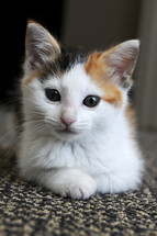 Calico kitten sitting on a rug