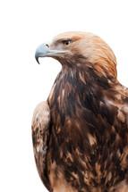 Proud eagle.