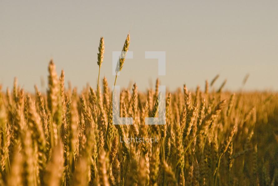 Stalks of wheat grains, ripe for harvest