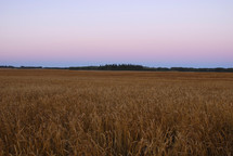 Dawn over a Canadian wheat field, ready for harvest