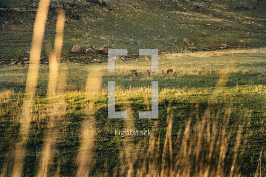 Zebras on a field of grass, seen from afar.
