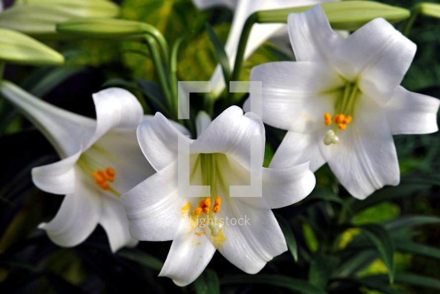 Three white Easter lilies; closeup.