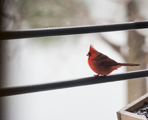 a red cardinal on a wire