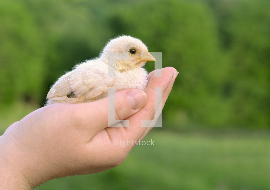 Baby chick on a human  palm closeup, on  blurred background