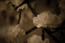 white flower blossoms on a branch