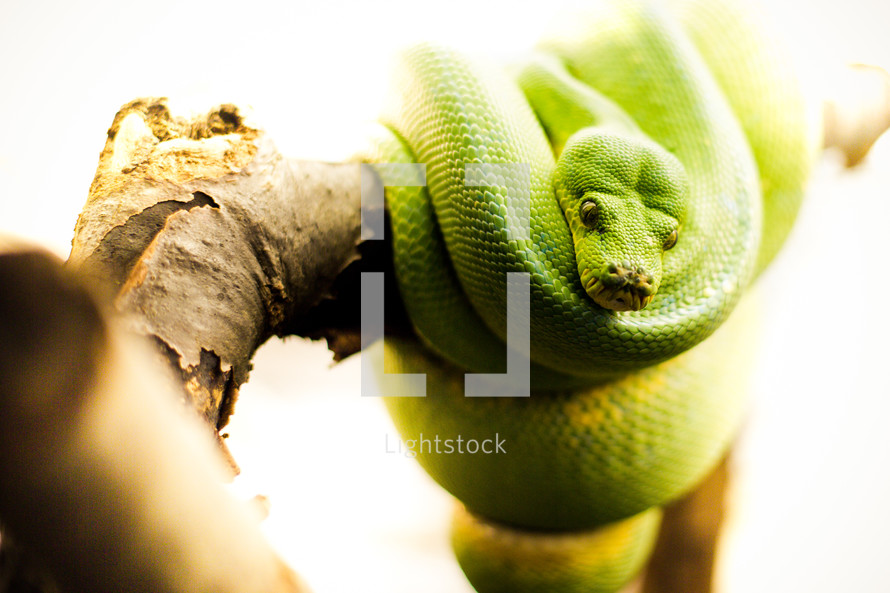 A snake looks down from a tree.