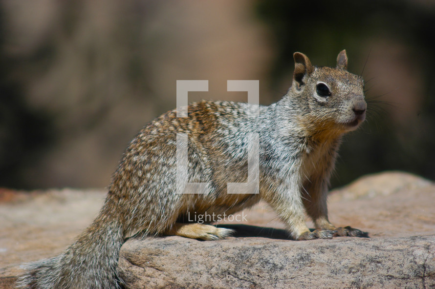 An American Grey Squirrel sits motionless on a rock.