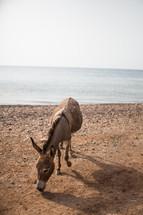 a lone donkey