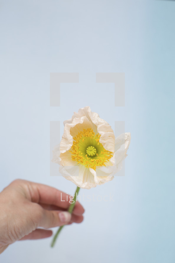 a hand holding a white flower