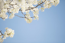 white spring blossoms on tree branches against a blue sky