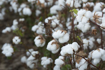 cotton plants