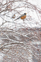 robin in a winter tree