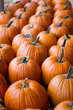 Rows of orange pumpkins in a pumpkin patch outdoors