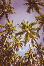 looking up to the top of palm trees